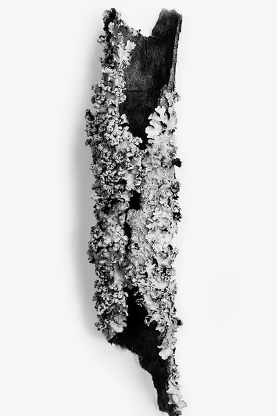 Black and white photograph of a curled piece of tree bark covered in textured lichens.