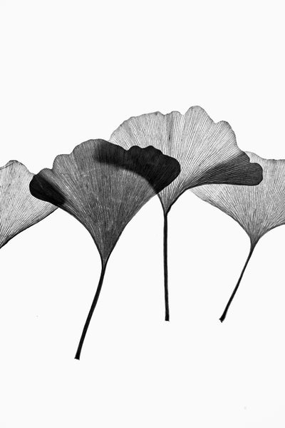 Minimalist black and white photograph of a collection gingko leaves lit from behind to highlight the linear texture of the leaves.