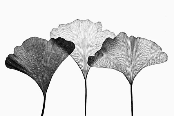 Minimalist black and white photograph of a three gingko leaves lit from behind to highlight the linear texture of the leaves.