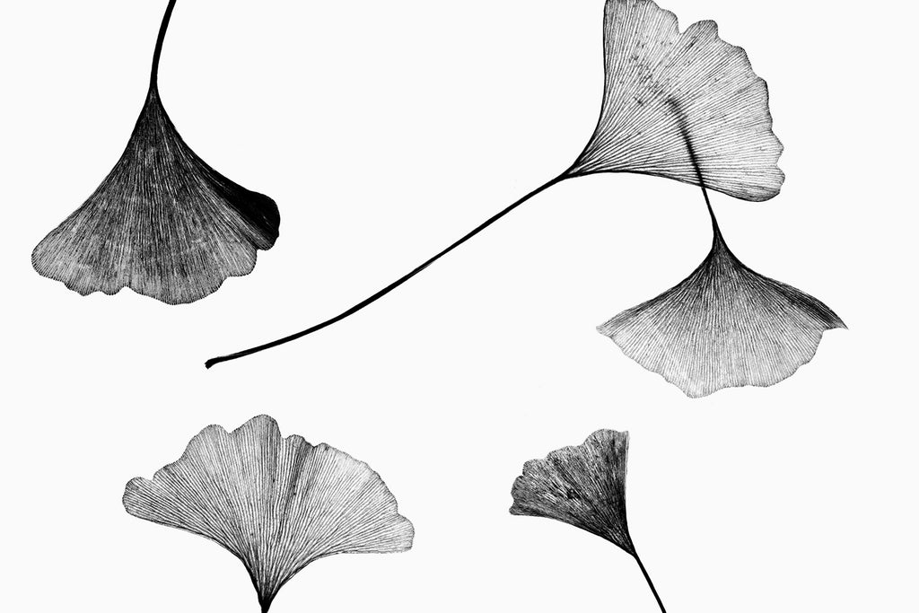 Black and white photograph of a scattering of gingko leaves lit from behind to highlight the texture of their leaves.