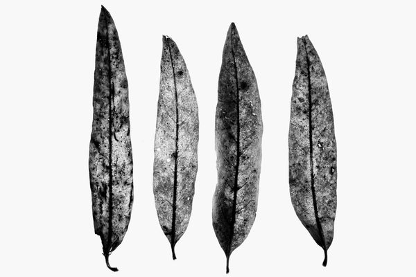 Minimalist black and white photograph of four fallen leaves on a white background.