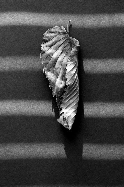 Black and white photograph of a curled fallen leaf crossed by stripes of sunlight.
