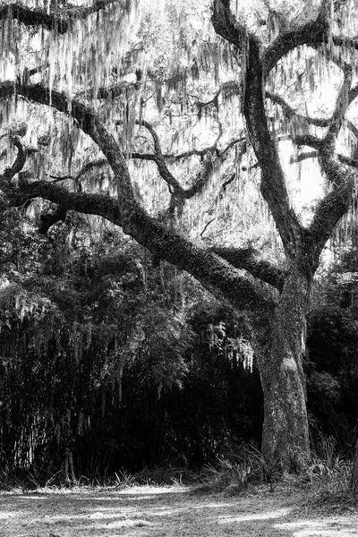 Black and white photograph of a giant old oak tree draped with Spanish moss in Savannah, Georgia.
