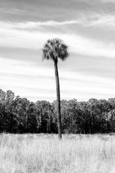 Black and white photograph of a tall palm tree growing in a southern low country landscape