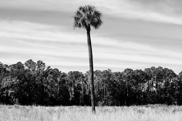 Black and white photograph of the Low Country landscape near Savannah centered on a solo palm tree