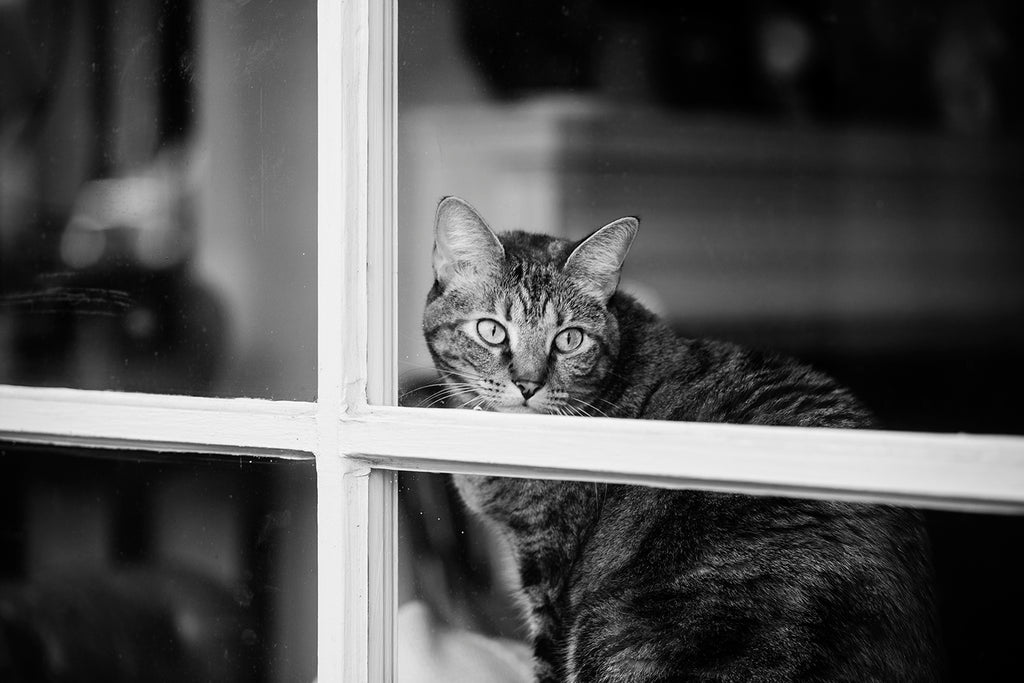 Black and white photograph of a restless and curious cat seen peering through a shop window in Savannah, Georgia