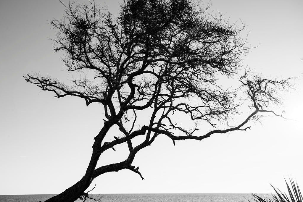 Black and white landscape photograph of a gnarly windblown beach tree silhouetted against the sun