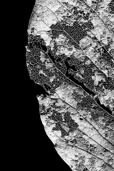 Black and white macro photograph of the beautiful and intricate details of a leaf skeleton against a black background.