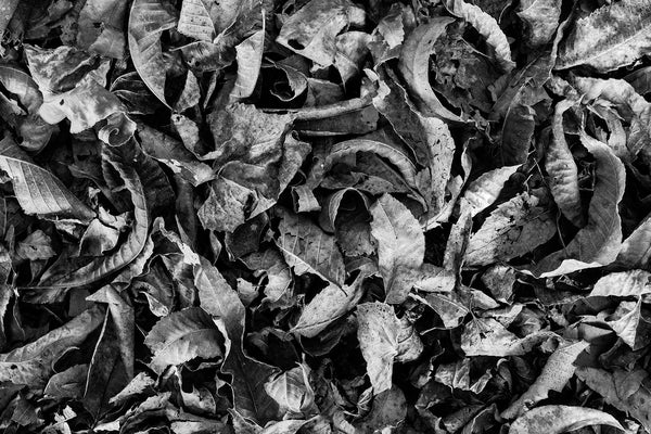 Black and white detail photograph of a layer of curled and dried fallen leaves on the ground.