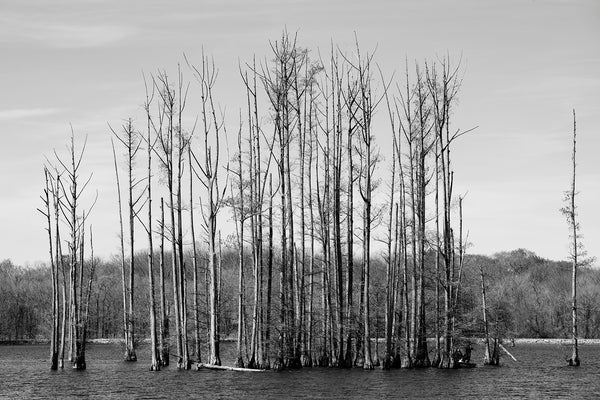 Black and White Landscape Photograph of a Grove of Cypress Trees in a Lake