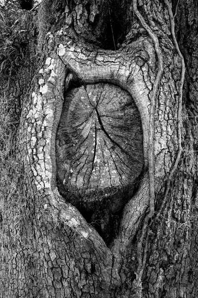 Black and white landscape photograph of a knot in an ancient oak tree that resembles the spirit of an old woman with her wrinkled face surrounded by a shock of white hair.