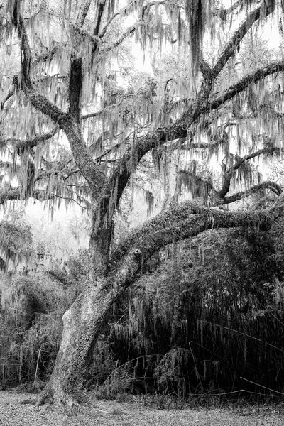 Black and white landscape photograph of a giant old oak tree draped with Spanish moss in the American South.