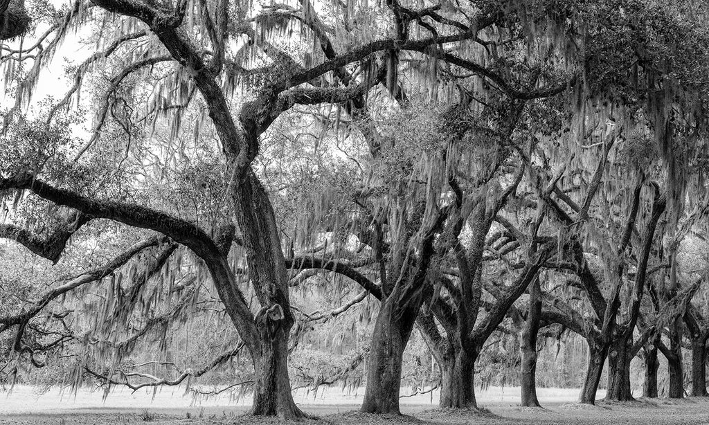 Black and white landscape photograph of a row of old and mighty oak trees draped with Spanish moss in the American South.