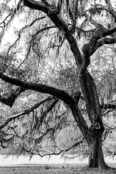Black and white landscape photograph of a huge beautiful old oak tree draped with Spanish moss in the American South.
