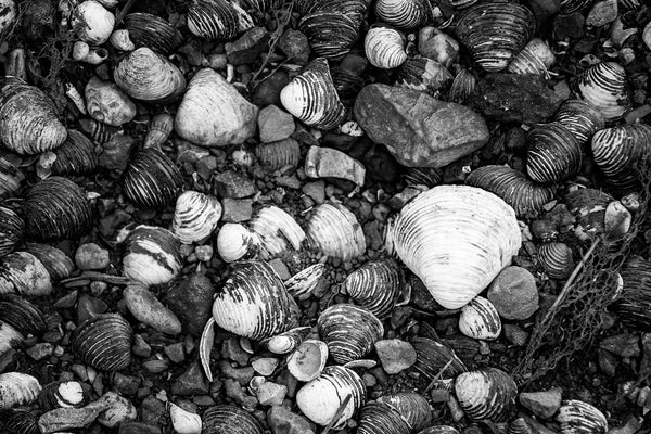 Black and white photograph of a collection of freshwater muscle shells on the bank of a creek, highlighting their natural patterns.