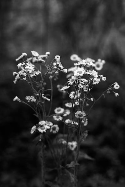Black and white landscape photograph of a cluster of wildflowers seen in the woods in dark and rainy morning light.
