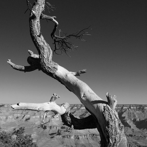 Black and white landscape photograph of a curved tree that seems to be dancing joyfully on the rim of the Grand Canyon. Square format.