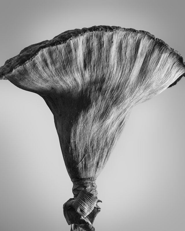 Black and white photograph of the side view of a dried American Lotus seed pod, found on a lake side in the American Midwest. The side light reveals the striated texture that runs vertically along the outside of the pod.