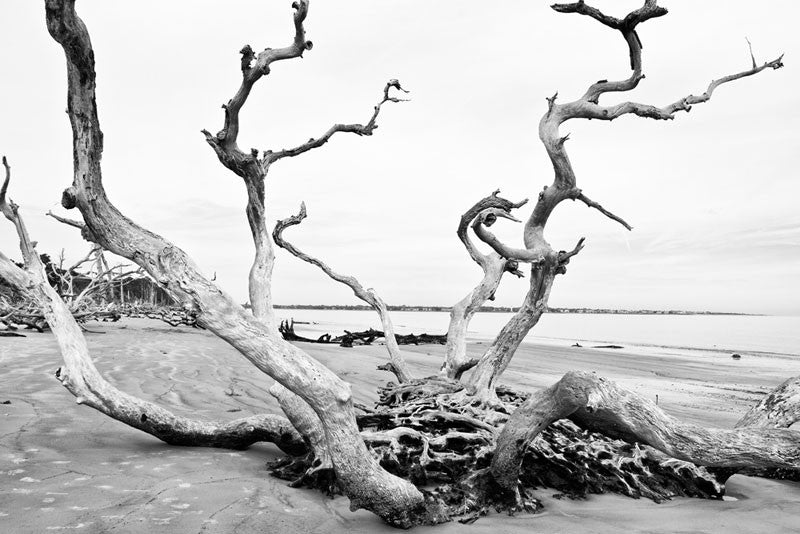 Black and white photograph of a dramatic tree with multiple trunks in the middle of Driftwood Beach.