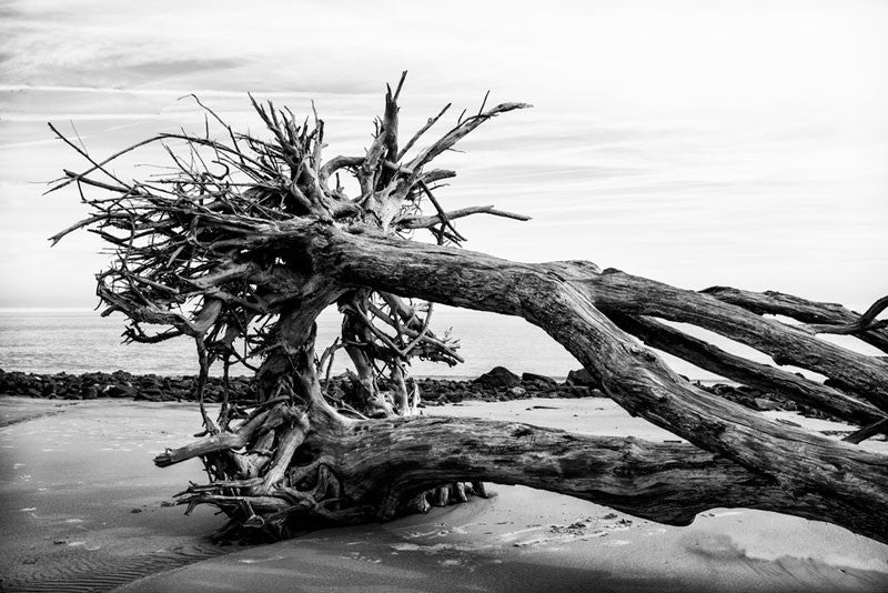 Black and white photograph of trees with intertwined roots, which have fallen over together on Driftwood Beach.