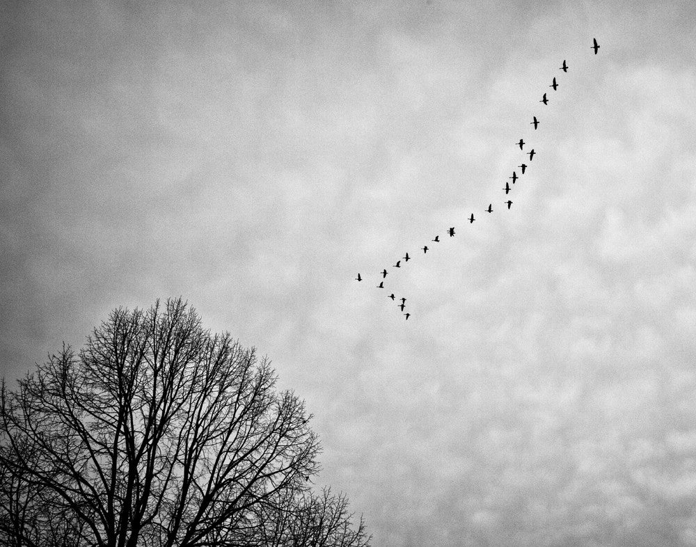 Black and white photograph of a formation of Canadian Geese flying across a gray winter sky