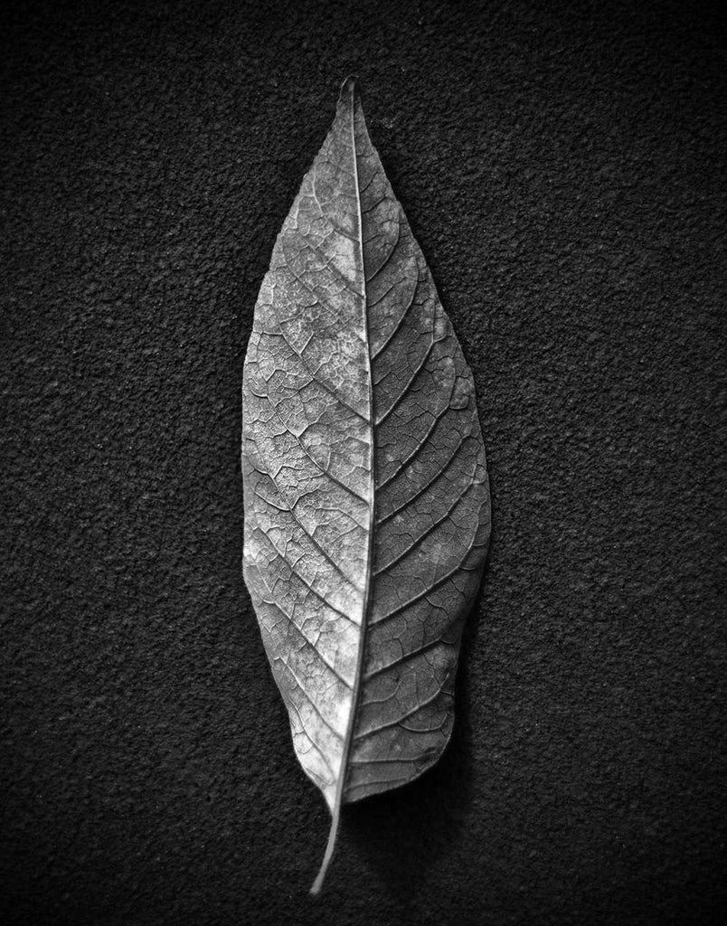 Black and white photograph of the detailed vein structure of a leaf photographed simply and dramatically on a dark, textured background.