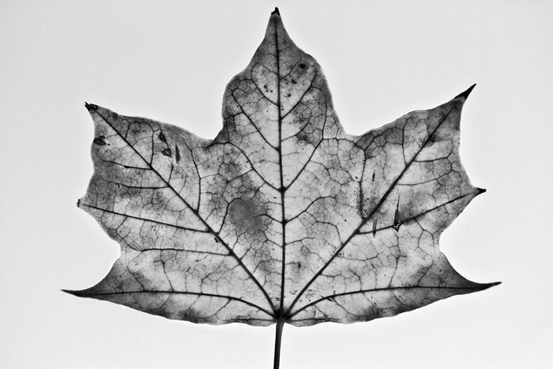 Black and white photograph of a wide, flat maple leaf on a simple background.