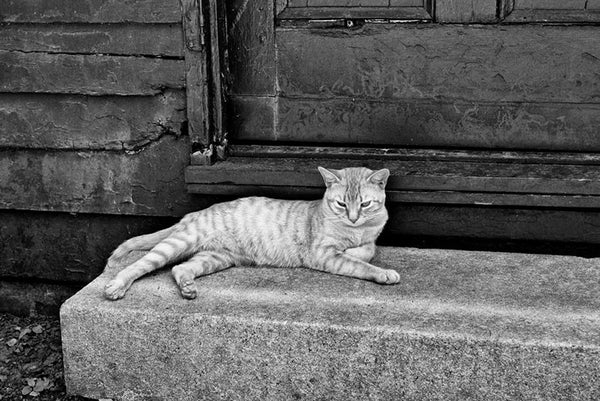 Black and white photograph of a lazy cat resting in the cool shade of an old shed that still displays bullet holes from the Civil War battle of Franklin, which took place in 1864.