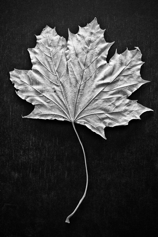 Black and white photograph of a leaf with a long, curved stem on a simple black background.