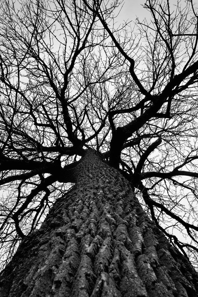 Black and white photograph looking up into the bare branches of a huge cottonwood tree spreading out across a white winter sky.