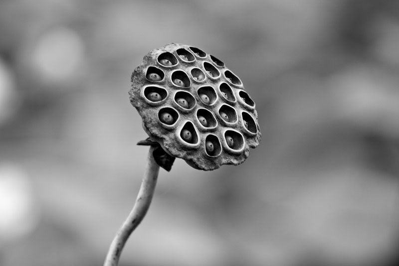 Black and white photograph of an American Lotus seed pod growing in a wetland in the southern US.