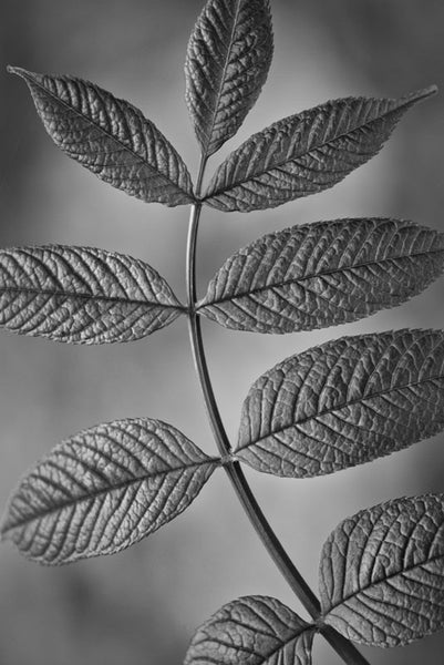 Black and white photograph of nine fresh green leaves on a curved stem, found growing from the forest floor.