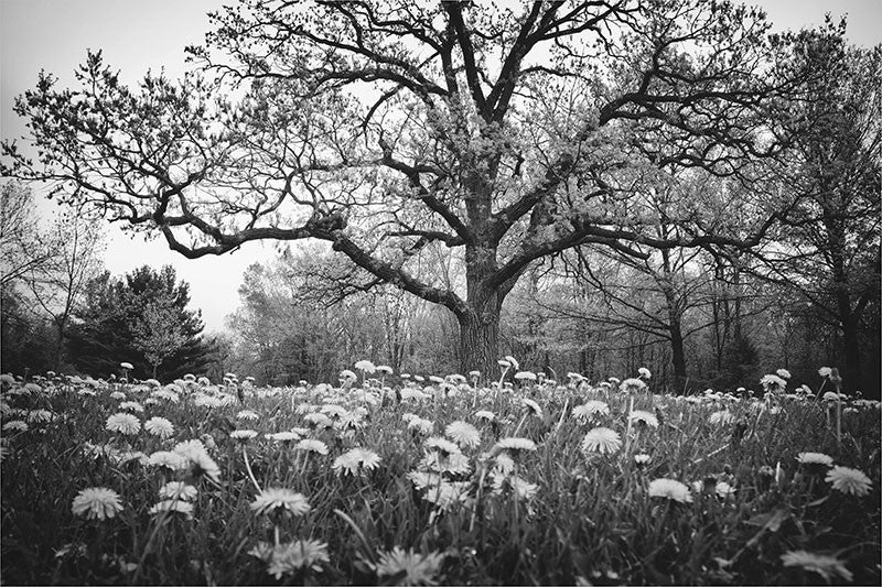 Black And White Landscape Photograph Featuring A Big Bur Oak In Field Of Dandelions