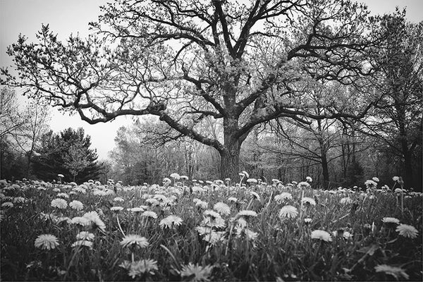 Black and white landscape photograph featuring a big bur oak in a field of dandelions.  The story tree is a giant bur oak is an old bicentennial oak. It's called the story tree because local school children sometimes take field trips to sit in the shade of its branches to listen to stories of the area's history, Native Americans, and environment.