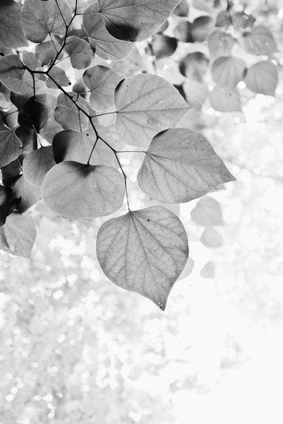 Black and white photograph looking up into fresh spring leaves on a beautiful sunny day.