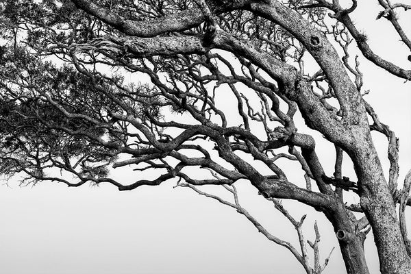 Black and white landscape photograph of windblown beach trees bent by years of ocean breeze.