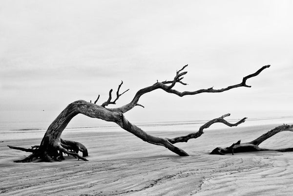 Driftwood Beach is a long, surreal stretch of beach on Jekyll Island, Georgia, that's strewn with dozens of skeletal fallen trees and pieces of driftwood. This photograph shows a bent tree, stooped to lie on the beach at low tide. On the left, a fishing boat can be seen small on the horizon.