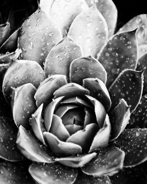 Black and white photograph or rain drops on a succulent.