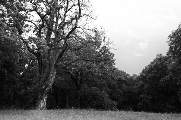 Black and white photograph of the wooded landscape at the Chickamauga Battlefield, in Georgia, not far from Chattanooga, Tennessee.