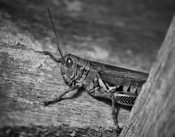 Black and white photograph of a grasshopper peeking from behind a board in a country barn.