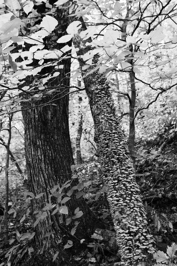 Black and white landscape photograph of a leaning tree in the woods, covered with bracket fungus.