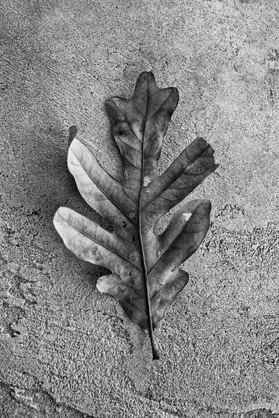 Black and white detailed photograph of an oak leaf.