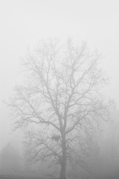 Black and white photograph of the barren branches of hickory tree in winter cloaked in a dense morning fog.