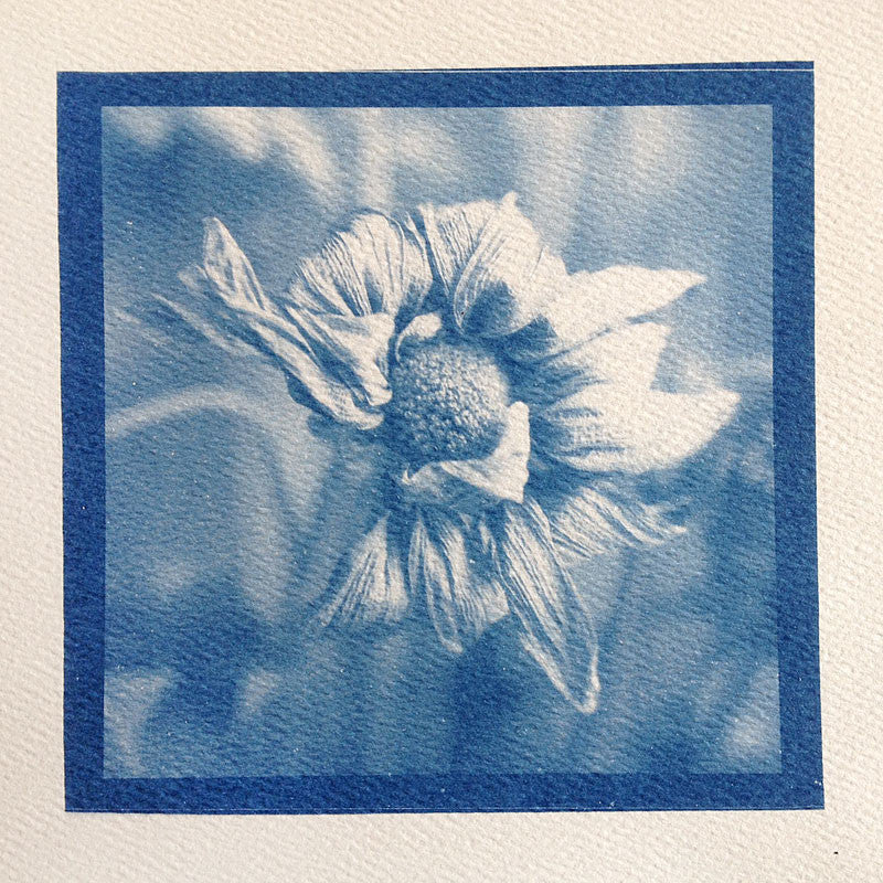This is a unique one-of-a-kind handmade cyanotype print of a drying dead flower blossom, printed on acid-free rough watercolor paper.