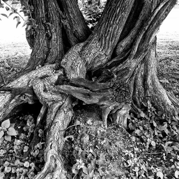 Black and white Instagram photograph of a beautifully twisted, gnarly, old tree that wears its age and the struggles of its existence proudly. This aged tree is a survivor.