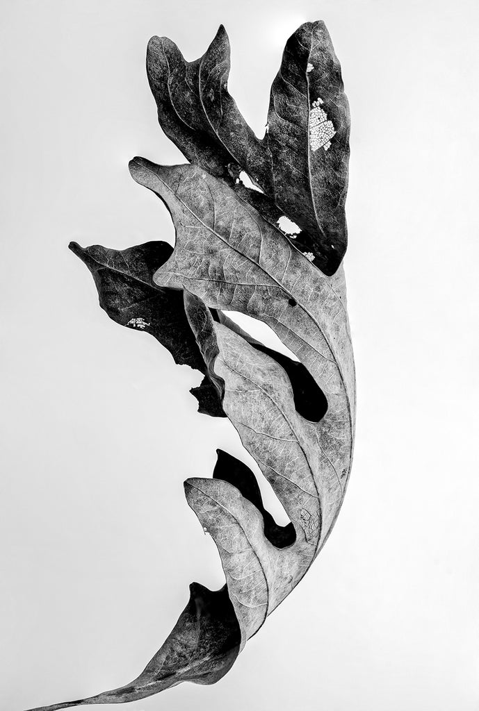 Black and white photograph of a curled and textured autumn leaf