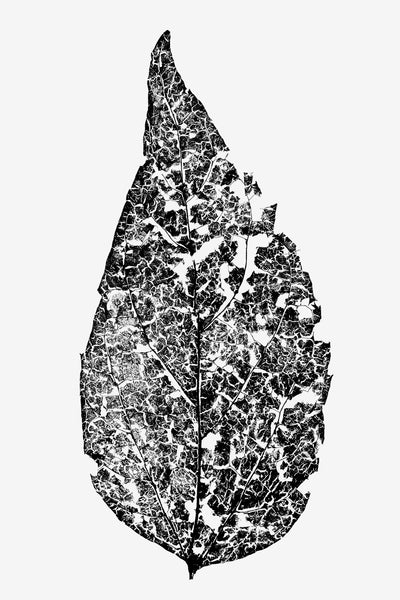 Black and white macro photograph of a fragmented leaf skeleton shot in great detail against a lighted white background.