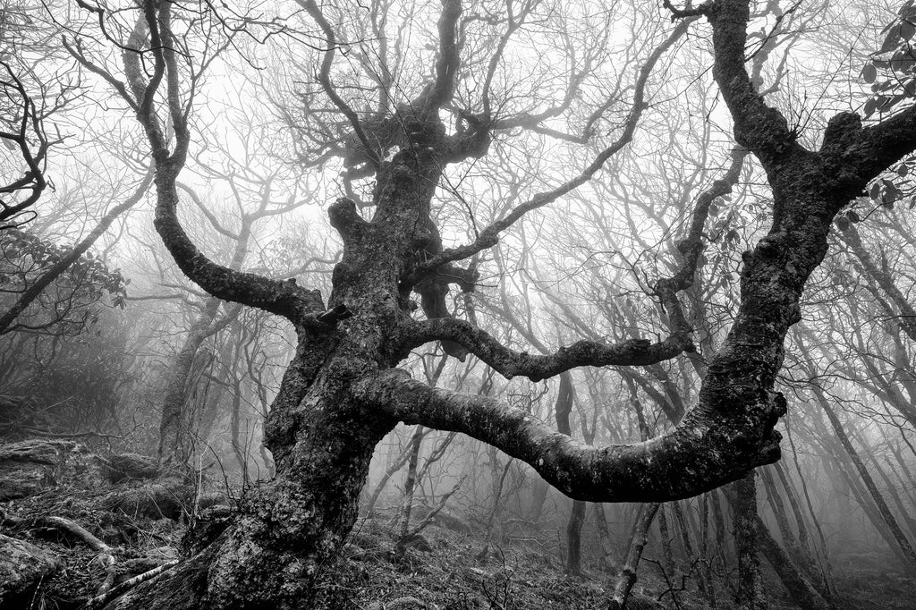 Black and white photograph of an old gnarly tree on a hillside in a dense fog.