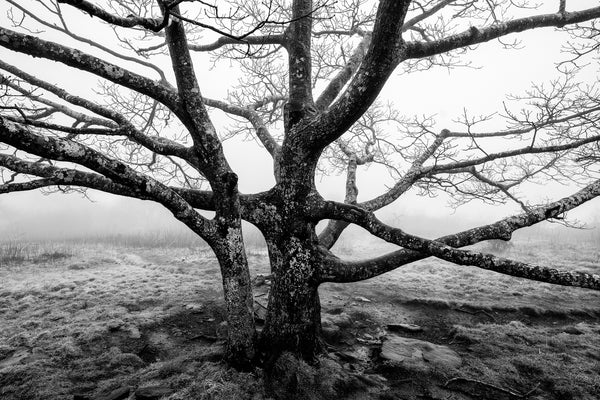 Black and white landscape photograph of a black barren tree stark against the white of the foggy sky.