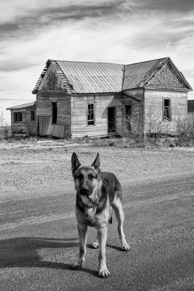 Black and white photograph of a curious German Shepherd roaming the streets near an abandoned old farmhouse.